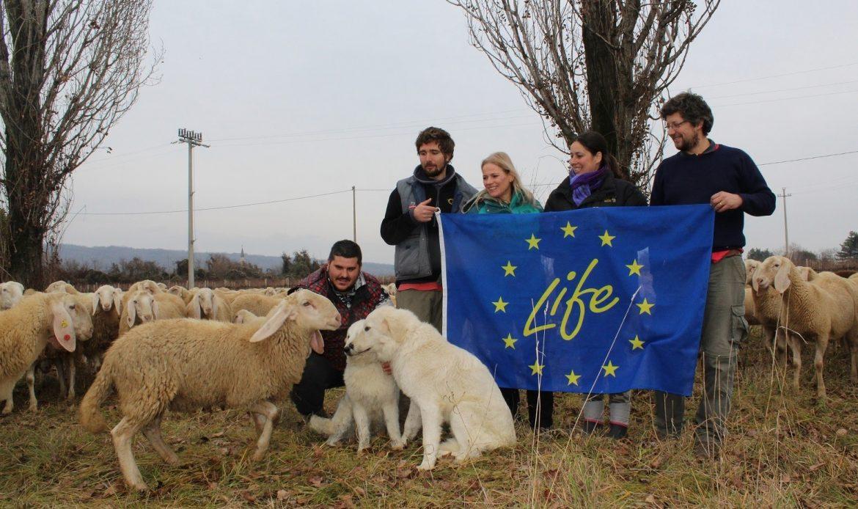 Arrivano i cane pastore maremmano per difendere le pecore dall'attacco dei lupi