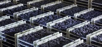 Raboso, uve antiche per un vino sorprendente