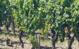 Il punto sulla viticoltura trevigiana con gli esperti più autorevoli a confronto