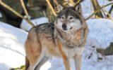 Danni da lupi e fauna selvatica, arrivano i risarcimenti