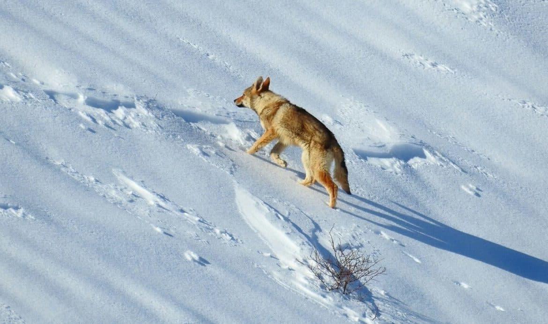 """E' un cane, non un lupo. Assessore Pan: """"Attenzione alta per il rischio ibridazione"""""""