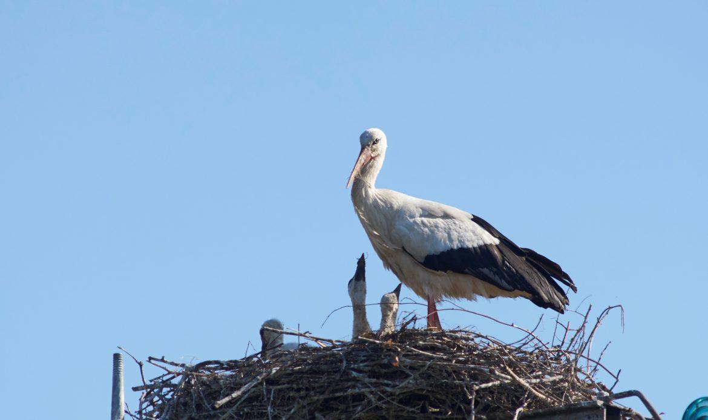 Camazzole, lassù dove nidificano le cicogne: mamma, papà e tre piccoli