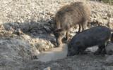 In Lessinia via libera alla caccia al cinghiale