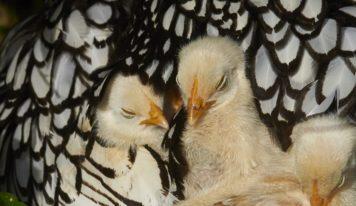 Una allegra famigliola di pennuti: ecco i pulcini con mamma e papà