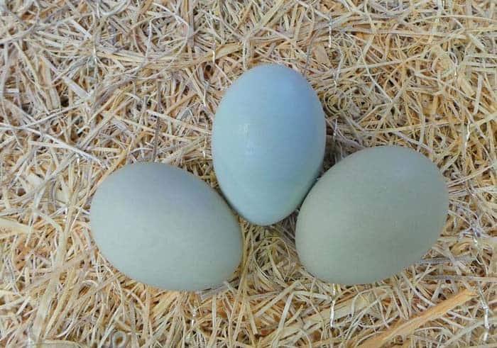 Un viaggio tra galline dalle uova blu, azzurre e verdi, con gli esperti del Centro Verde