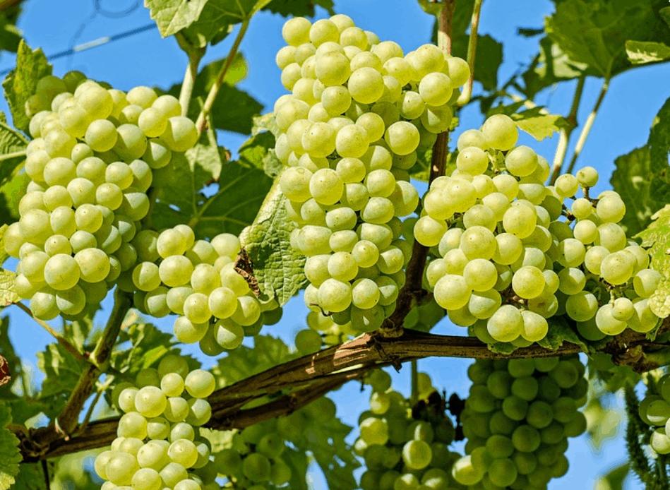 Vendemmia 2019 in Veneto: cantine pronte, uva sana, ora occhio al meteo