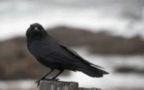 """Il racconto. """"Il sarto e il corvo"""""""