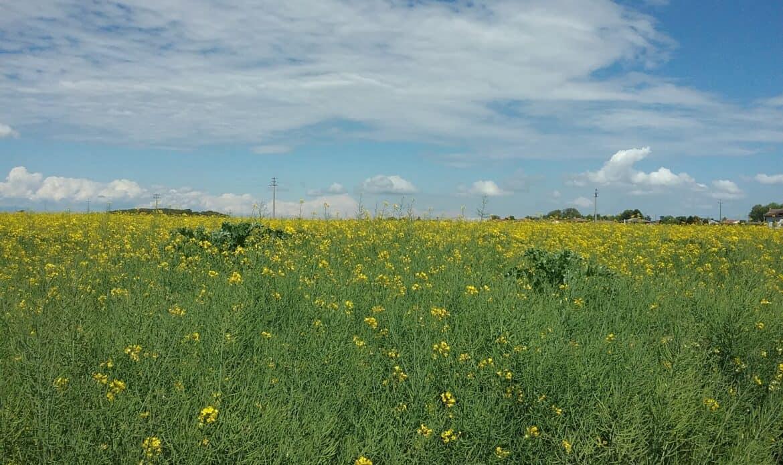 I nostri campi. Colza, trionfo in giallo